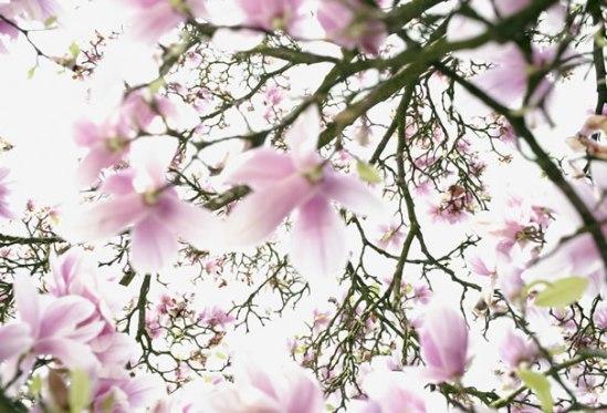 mississippi-state-flower-magnolia